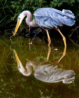 Great Blue Heron with Fish Reflection_5856