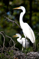 Great White Heron with Chick Standing - pm8/199