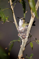 Female Rufous Hummingbird on Nest