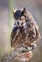 Long Eared Owl in Contemplation