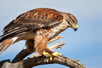 Feruginous Hawk Perched