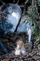 Little Blue Heron Feeding her Chick - am8/201