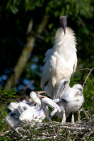 Wood Stork with chicks in Nest - pm8/363