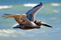 Brown Pelican in Flight - 2/306