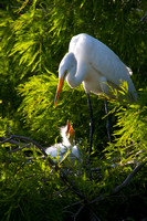 Great White Egret with her Chick-pm8/357