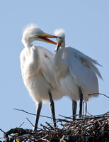Great White Heron Chicks - pm7/452