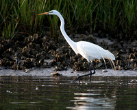 Great White Heron Fishing - am5/207