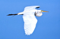 Great White Heron in Flight - pm5/50