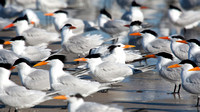 Royal Terns - A different point of View - 2/385